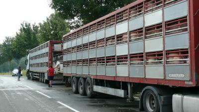goettingen schweinetransporter 30 08 2012